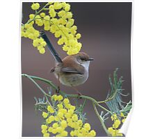 Superb Fairy Wren and Silver Wattle Poster