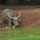 Water Buffalo Entering Nasty Water by Christian Eccleston