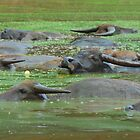 Water Buffaloes Resting in Nasty Green Water by Christian Eccleston