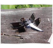 Common White-tailed Dragonfly Poster