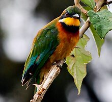 Cinamon chested  Bee-eater - ( Merups oreobates ) Ngorongoro Crater Tanzania by john  Lenagan