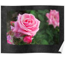 Pink Roses in Anzures 1 Blank P4F0 Poster