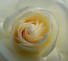 Rose White 06 by Magic-Moments