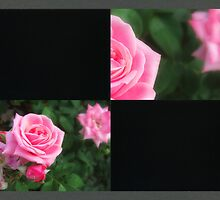 Pink Roses in Anzures 1 Blank Q2F0 by Christopher Johnson