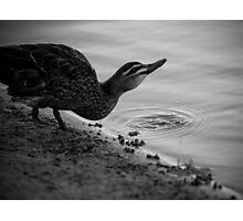 Pacific Black Duck Photographic Print