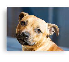 Staffordshire Bull Terrier Metal Print