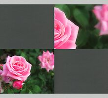 Pink Roses in Anzures 1 Blank Q6F0 by Christopher Johnson