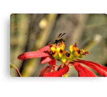 Bee on Red Flower in Malta Canvas Print