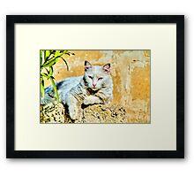 White Cat Chilling in Malta Framed Print