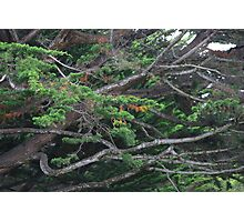MONTEREY CYPRESS Photographic Print