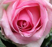 Pink Rose by vbk70