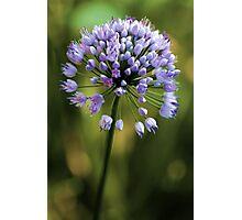 Allium --- Lavender Millenium Photographic Print