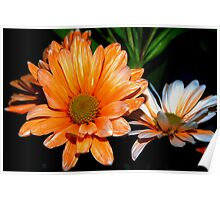 Orange and white streaked daisies Poster