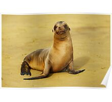 Baby Sea Lion in the Galapagos Poster