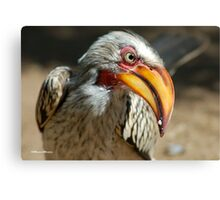 ARE YOU TALKING TO ME? - Southern Yellow-billed Hornbill - Tockus leucomelos - Geelbekneushoringvoel Canvas Print