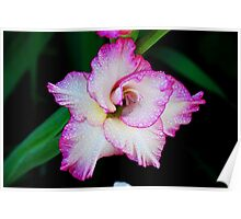 Glad to be a Gladiola  Poster