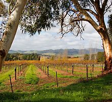 Barossa Autumn by jwwallace