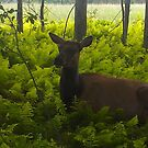 Cow Elk in Ferns by teresa731