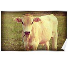 White Jersey Cow farm decor art Poster