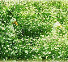 Daisy Ducks flower nature photography by jemvistaprint
