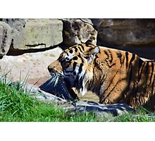 Tiger playing Photographic Print