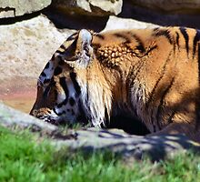 Tiger playing by ANDREW BARKE