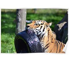 Tiger playing Poster