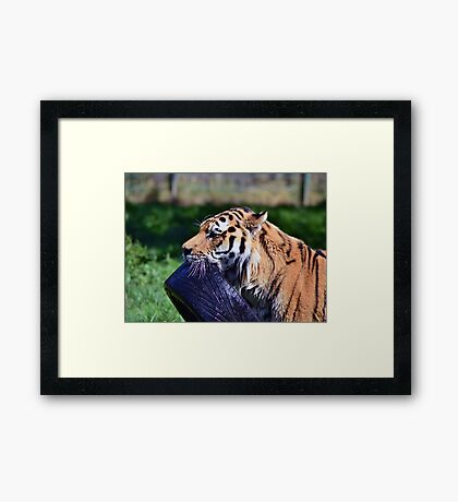 Tiger playing Framed Print