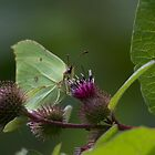 Brimstone Butterfly.. by Lauren Tucker