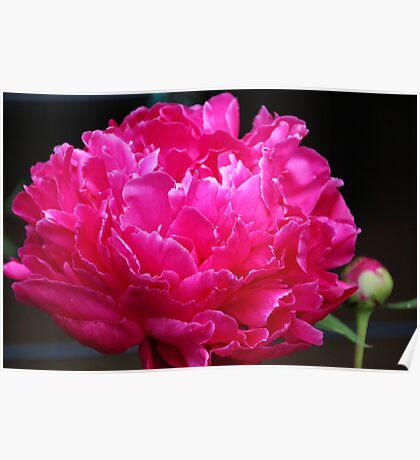 Pink Peony III Poster