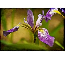 Wild Blue Flag - Iris Versicolor Photographic Print