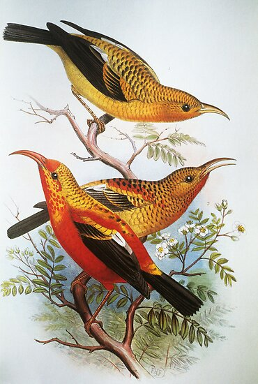 I'iwi Native Hawaiian Birds by printscapes