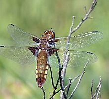 Broad bodied chaser by Alan Forder