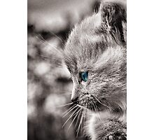 Monochrome Siamese Cat with blue eyes  Photographic Print