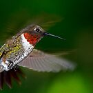High Flight - Male Ruby-Throated Hummingbird  by Janice Carter