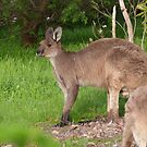 Large Buck Kangaroo visits his Doe, Mt. Pleasant. Sth. Aust. by Rita Blom