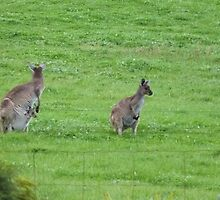 Female Kangaroo, Joey at foot & another in the Pouch. Mt. Pleasant, Sth. Aust. by Rita Blom