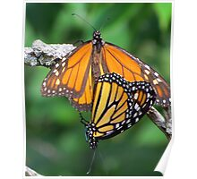 Monarchs Mating Poster