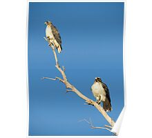 Red-tailed Hawks ~ Breeding Pair  Poster