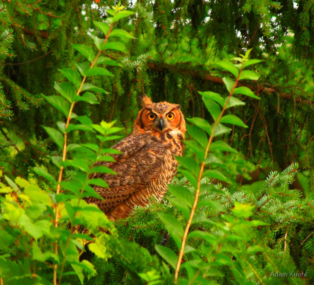 Great Horned Owl by Adam Kuehl