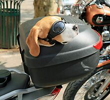 Dog on a Motorbike by DRWilliams