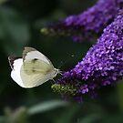 Butterfly bush  by Caroline Anderson