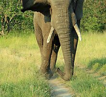 An African Bull Elephant by DRWilliams