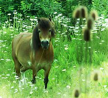 Hillbilly Horse funny Exmoor Pony photograph by jemvistaprint