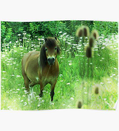 Hillbilly Horse funny Exmoor Pony photograph Poster