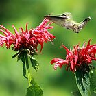 Hummingbird in Bee Balm by Debbie  Roberts