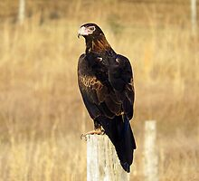 Wedge-tailed Eagle by janewiebenga