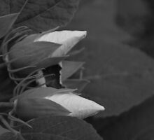 Hibiscus (series) b&w by Jeff Stroud