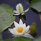 Water Lilies by Debbie  Maglothin