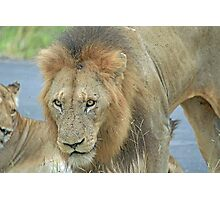 An African Lion Photographic Print